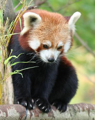 Screenshot-2018-3-5 Red Panda