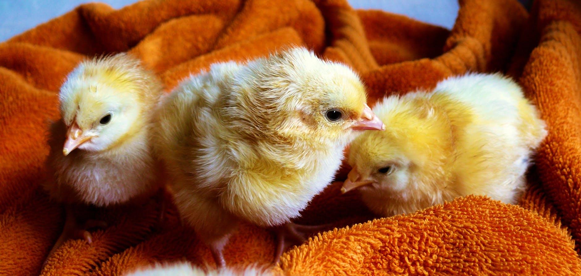 cute animals easter chicken